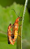 Soldier beetles mating