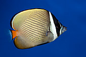 Red-tailed butterflyfish
