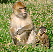 Barbary macaque and baby