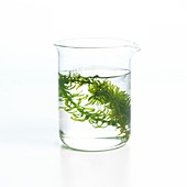 Pondweed photosynthesis