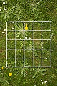 Quadrat on a lawn with weeds