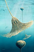 Devonian crinoid illustration