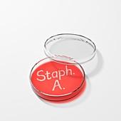 Staphylococcus aureus in a petri dish
