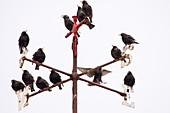 Common Starlings