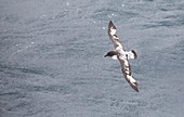 A Cape Petrel flying in the Drake Passage