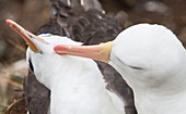 A Black Browed Albatross