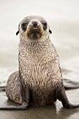 A female Antarctic Fur Seal