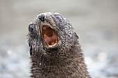 An Antarctic Fur Seal pup
