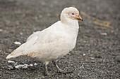 A Snowy Sheathbill