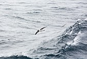 A Grey Headed Albatross