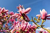 A flowering Magnolia tree