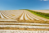 A crop covered in rows of plastic