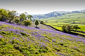 Bluebells growing on a limestone hill