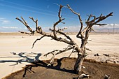 Tree killed by drought,California,USA