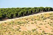 Orange trees near Bakersfield