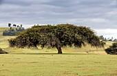 Abyssinian acacia tree,Ethiopia