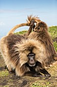 Gelada baboons grooming