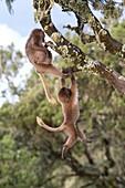 Juvenile Gelada baboons at play