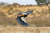 Bateleur Eagle in Flight