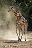 Giraffe walking in the Kalahari
