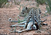Female leopard & cub with springbok prey