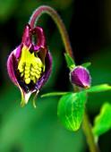 Aquilegia flower eaten by pests