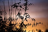 Bamboo stems at sunset