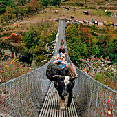 Yaks on rope bridge,Nepal