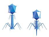 T4 bacteriophage,illustration