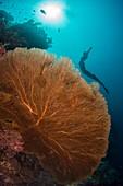 Free diver swimming over sea fan
