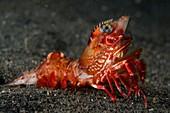 A prawn on volcanic sand
