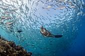Free diver in school of fish