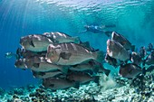 Free diver with bumphead parrotfish