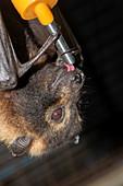 Rescued spectacled fruit bat
