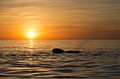 Pilot whale at dawn