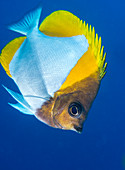 Pyramid butterflyfish on a reef