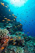 Orange and purple anthias on a reef