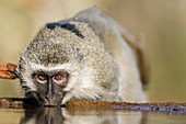 Vervet Monkey drinking from a waterhole