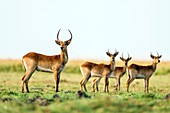 Bachelor herd of Red Lechwe
