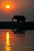 African elephant on the Chobe River