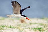 African Skimmer in flight