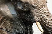 Facial detail of an African elephant