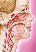 Human head anatomy,illustration