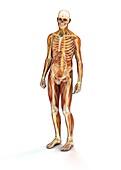 Muscles,bones and nerves,illustration