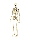 Human skeleton,illustration