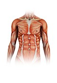 Human torso muscles,illustration