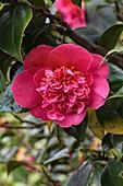 Camellia japonica Mrs Swan