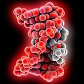 Actinomycin D bound to DNA