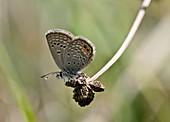 Grass jewel butterfly