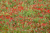 Poppies and sainfoin in a field